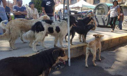 Proliferación de perros en Villa de Tezontepec