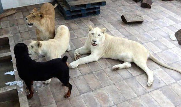 Asegura Profepa leones de vivienda de Iztacalco