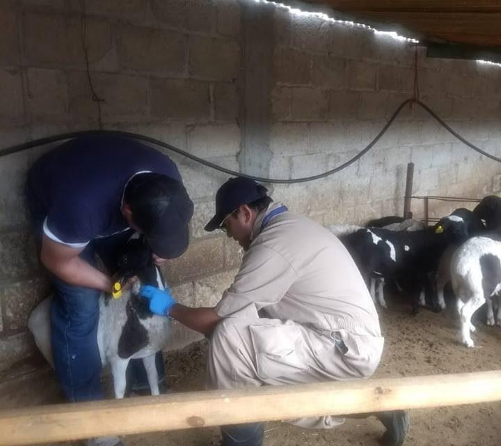 Inicia campaña zoosanitaria para descartar enfermedad en ganado