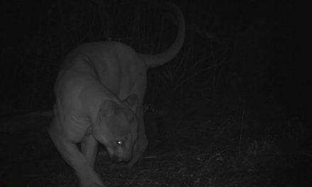 Pachuqueños opinan sobre las medidas que se deben tomar en el caso del puma