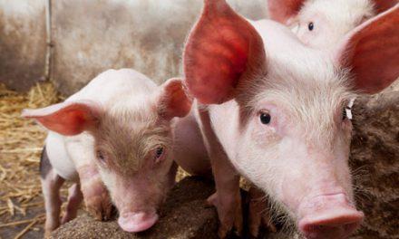 Septuagenario fallece al ser atacado por un cerdo