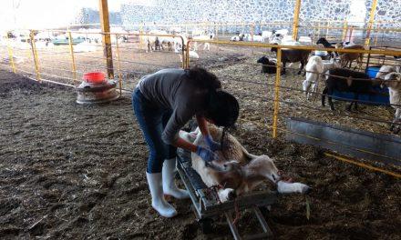 Promueven inseminación ovina gratuita en Tolcayuca