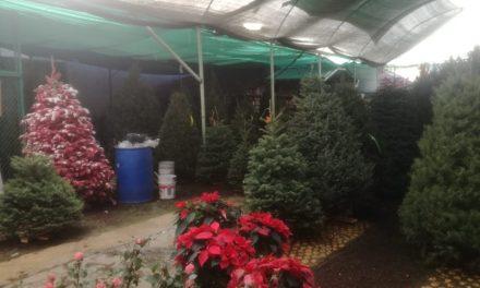 Este año cayeron drásticamente las ventas de árboles navideños y nochebuenas