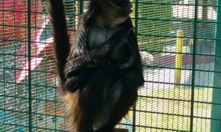 Recuperan mono araña que escapó del Parque de Convivencias