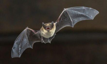 Plantean programa de control de murciélagos sin provocarles sufrimiento