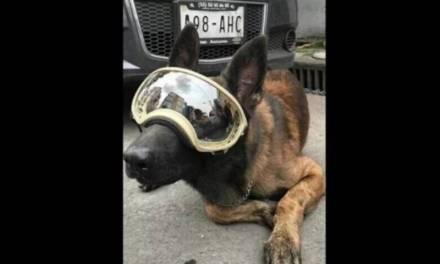 Piden ayuda para perro rescatista del 19-s, pertenece a un binomio voluntario