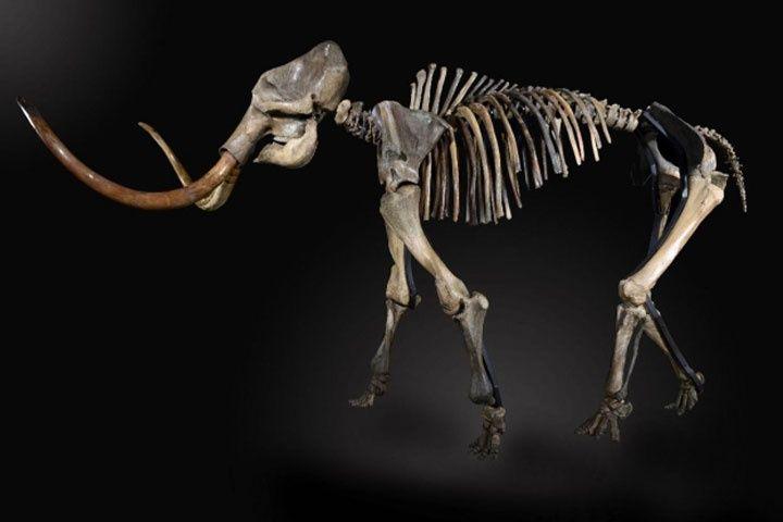 Proyectan museo en Singuilucan con restos de mamut y 300 piezas arqueológicas