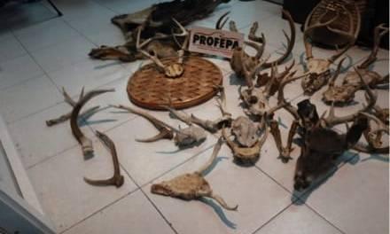 Aseguran partes de animales silvestres que se comercializaban en Actopan
