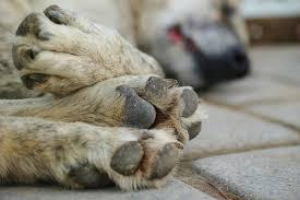 Continúa envenenamiento de Perros callejeros en Villa de Tezontepec