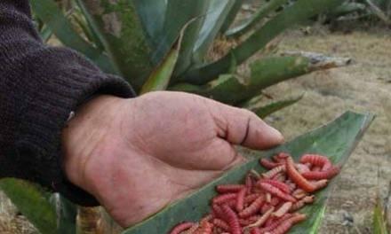 Proyectan granjas de agave-chinicuil para evitar sobreexplotación