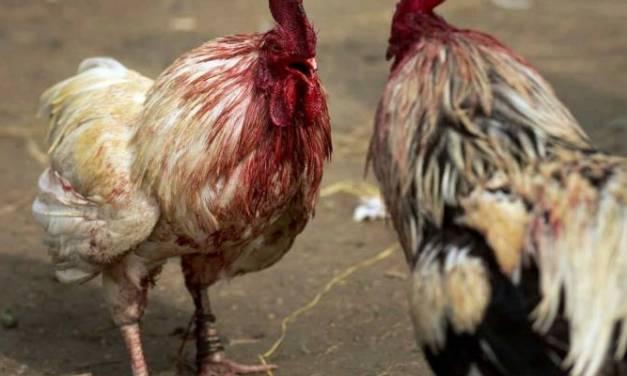 Pachuqueños piden a diputados que se tome en cuenta su opinión sobre peleas de gallos