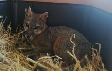 Reintegra Profepa a su hábitat a un zorro gris y un mapache