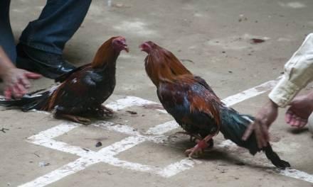 En la congeladora, iniciativa para prohibir peleas de gallos
