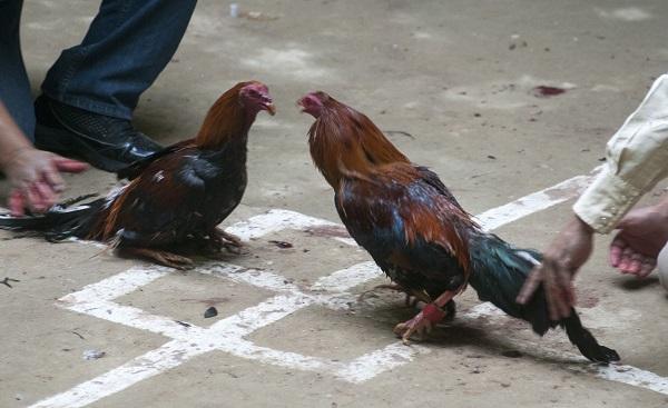 Biofutura pide que peleas de gallos no sean consideradas Patrimonio Cultural de los hidalguenses