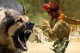 Presentaron iniciativa de prohibición de peleas entre animales
