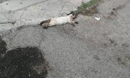 Perros y gatos son envenenado en calles del Fraccionamiento Tulipanes