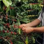Baja hasta en un 50% producción de café