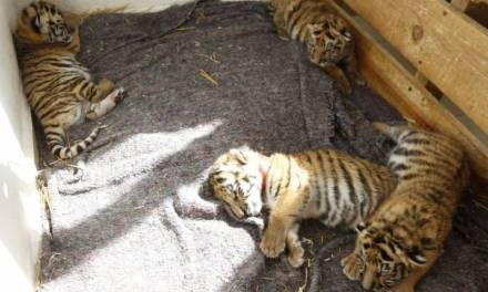 Nacen 4 tigres en Centro de Rescate Animal de Tizayuca