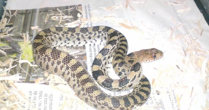 Investigan a miembros de Seguridad Pública de Mineral por posible privación de vida a una serpiente protegida