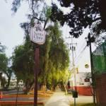 Biofutura exige información respecto a posible derribo de árboles en Calzada Cuesco