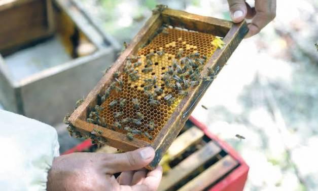 Realizarán anualmente en Tulancingo Feria de la Abeja y la Miel