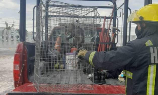 Capturan a un animal que ocasionó los daños en el Congreso local